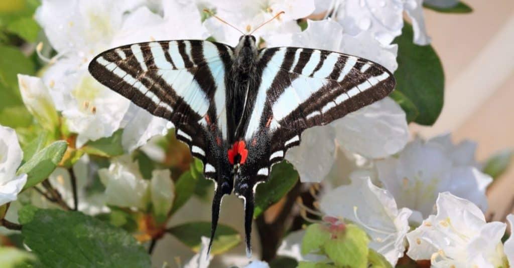 Zebra Swallow Tail TN Botanical Gardens