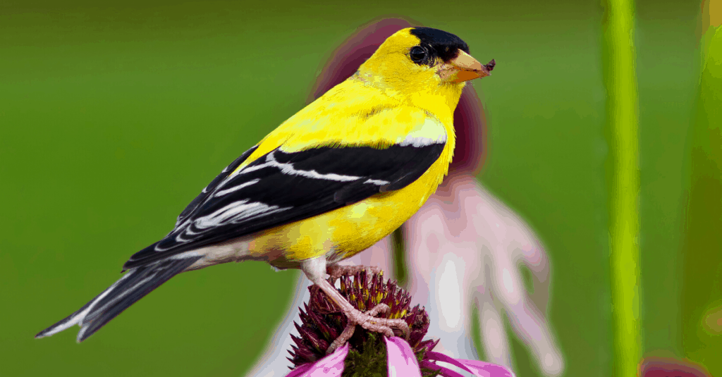 goldfinch bird Cherokee National Forest, TN