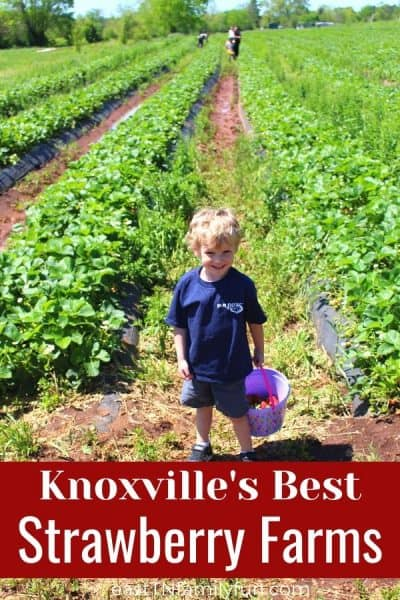 7 Farms for Strawberry Picking Near Knoxville TN