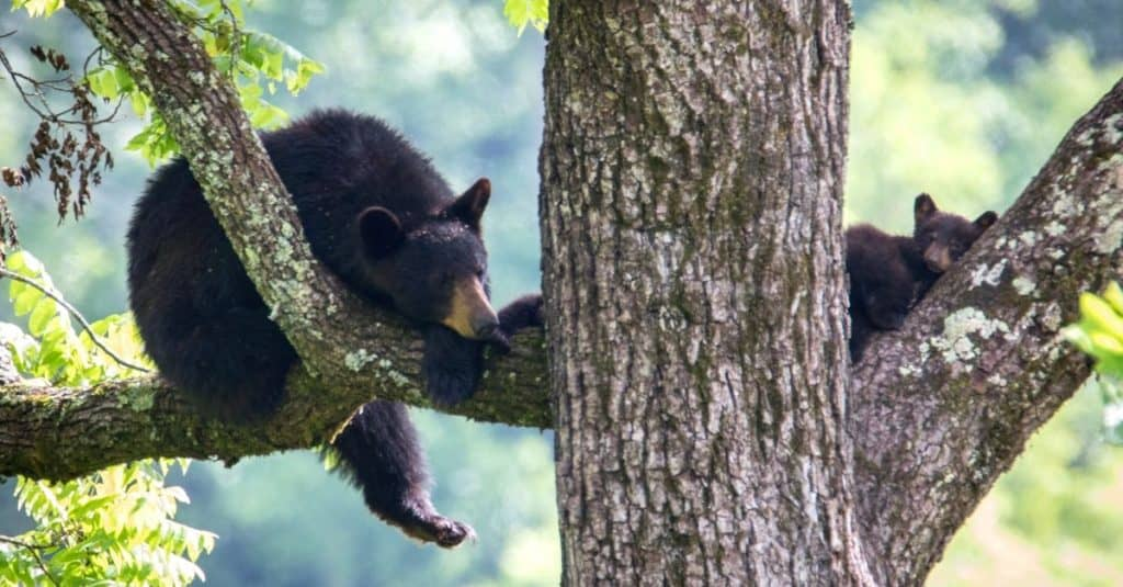 Cades Cove Black Bears in Great Smoky Mountains National Park