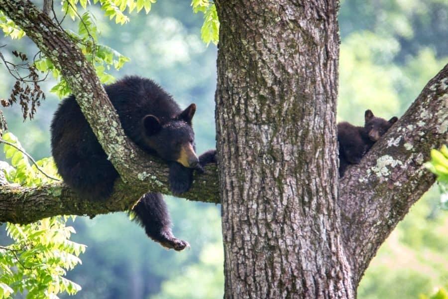 Black Bears Smoky Mountain Animals