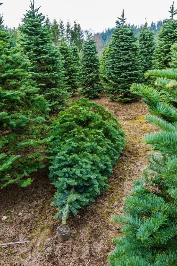 Smoky Mountain Christmas Tree Farms