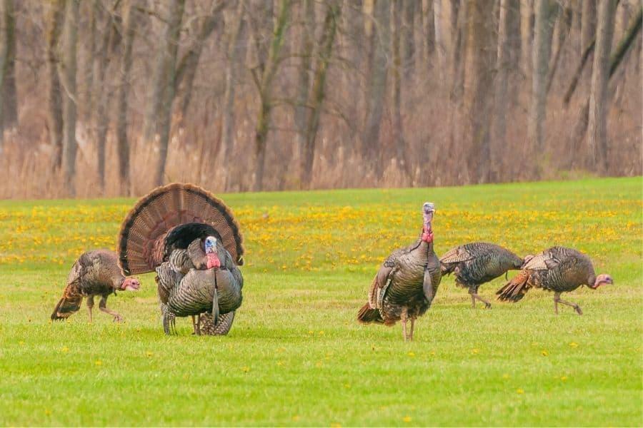 flock of wild turkeys in a pasture